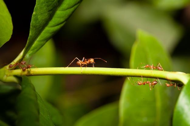 タイで自然の中の棒の木に赤いアリを閉じる