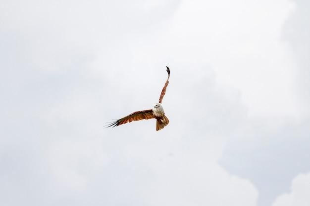 赤いワシはタイで自然の中で空を飛ぶ
