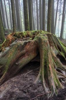 台湾の阿里山国立公園周辺の古い大きな木。