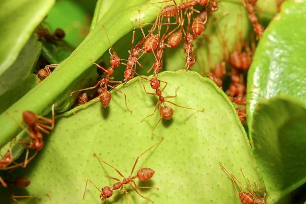 グループ赤アリは森タイで自然の中の緑の葉からアリの巣を構築します。