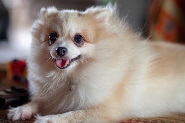クローズアップポメラニアン犬はテーブルの上に座る。