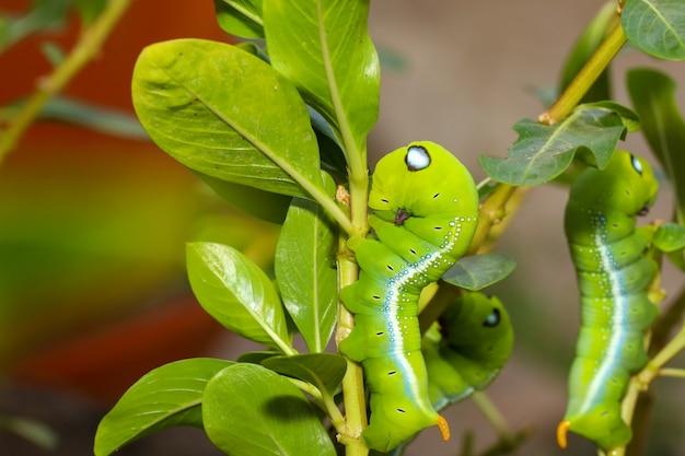 自然と環境にある緑のワームまたはダフニス・ネリのワームを閉じる