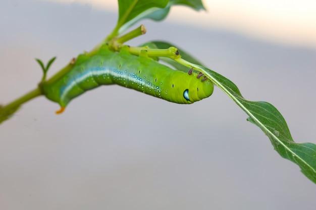 自然と環境の中でスティックツリーに緑のワームまたはダフニスネリワームを閉じる