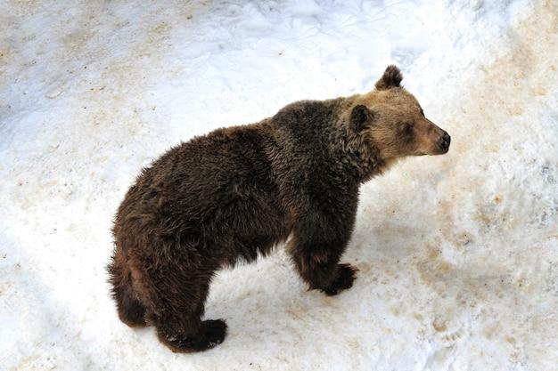 Японский бурый медведь на снегу зимой в японии