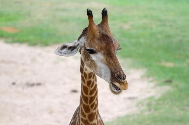 Закройте вверх по главному жирафу в саде на таиланде