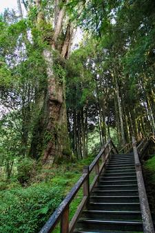 阿里山国立公園、台湾の阿里山の森の木からの通路