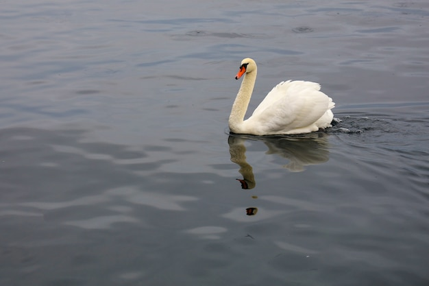 ホワイトスワンはスイスで川で泳いでいます。