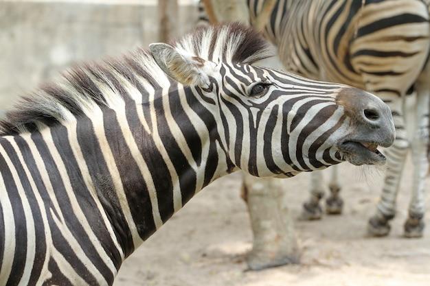 Закрыть голову берчелл зебра в ферме