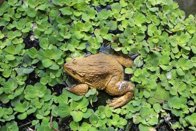 川の緑のカエル