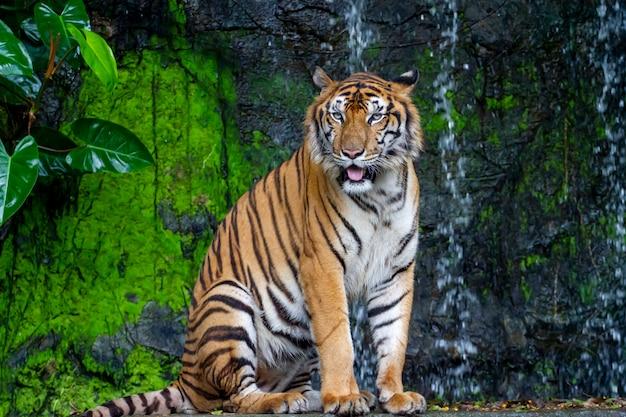 Крупным планом тигр сесть перед водопадом