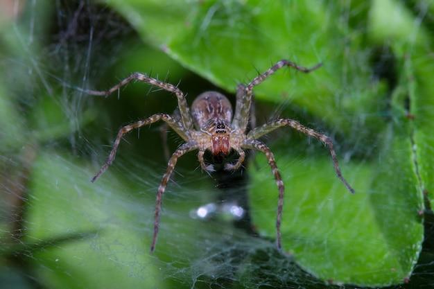 Закройте вверх по пауку оси на сети гнезда паука в пещере лист на природе таиланде