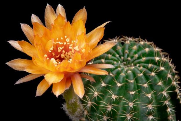 咲くサボテンの花ロビビアハイブリッドオレンジ色