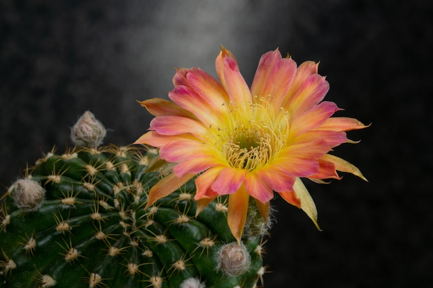 Цветущие цветы кактуса лобивия