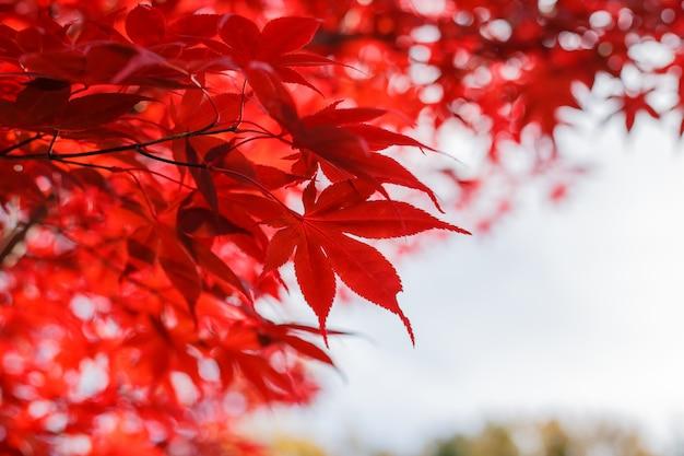 Красный кленовые листья в осенний сезон с синим небом размытым фоном.