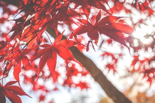 赤いメープルは、秋の季節に、日本で撮影された背景がぼやけています。