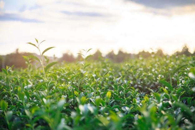 Поле свежего зеленого чая крупного плана и взгляд сценарных молодых верхних свежих ярких листьев зеленого чая