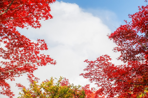 Красные кленовые листья на фоне осеннего сезона