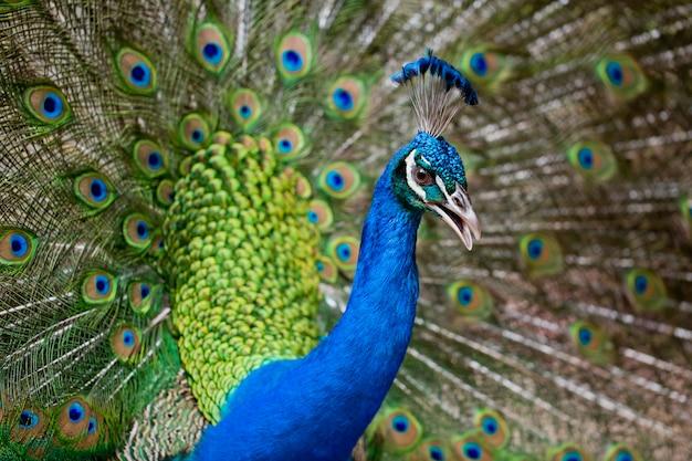 羽を持つ美しい孔雀の肖像
