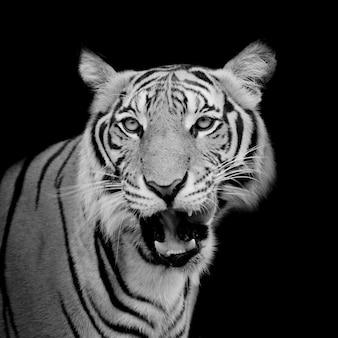 黒と白の虎は彼の獲物を探していてそれを捕まえる準備ができています。