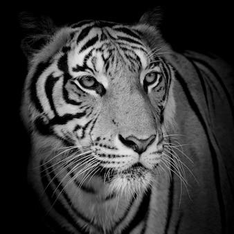 黒の背景に分離された顔の虎を閉じる