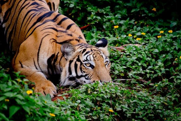 彼の獲物を探してそれをキャッチする準備ができているトラ