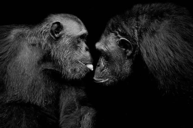 Западная низменная горилла