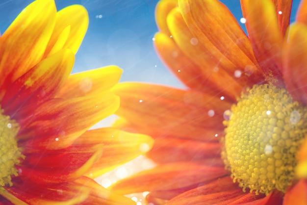 Абстрактные макро цветы ромашки или ромашки
