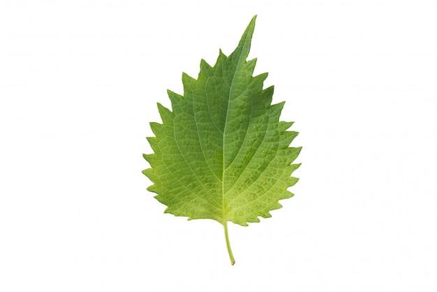 新鮮なイラクサの葉と白い背景の上