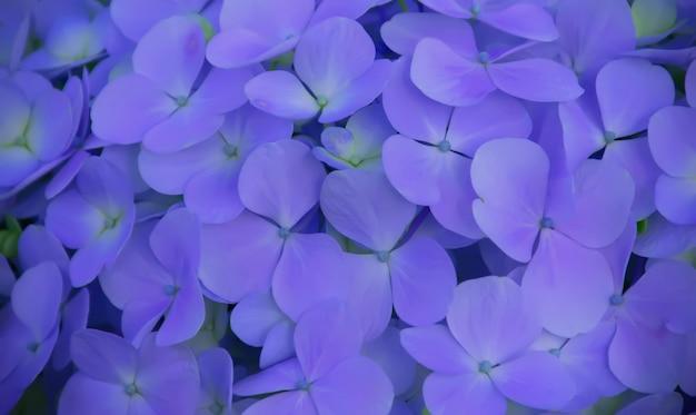 青いアジサイの花の背景。