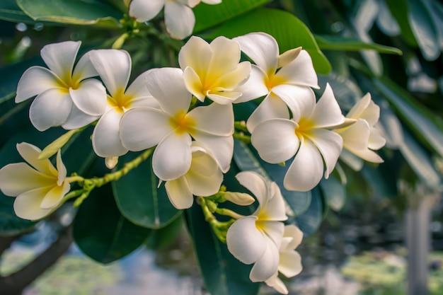 黄色のプルメリアの花。庭の熱帯の花フランジパニ(プルメリア)。