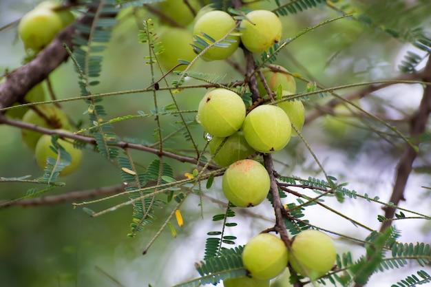 自然の木の新鮮なエンブリカ。木に成長しているアムラ。インドグーズベリー。