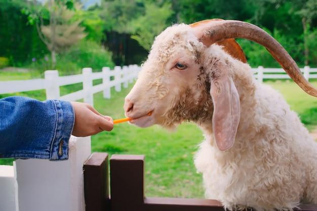 食べ物を食べるヤギ。農場でニンジンを食べる羊。