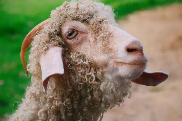 農場で立っているヤギ。農場で食べ物を待っている白い羊。