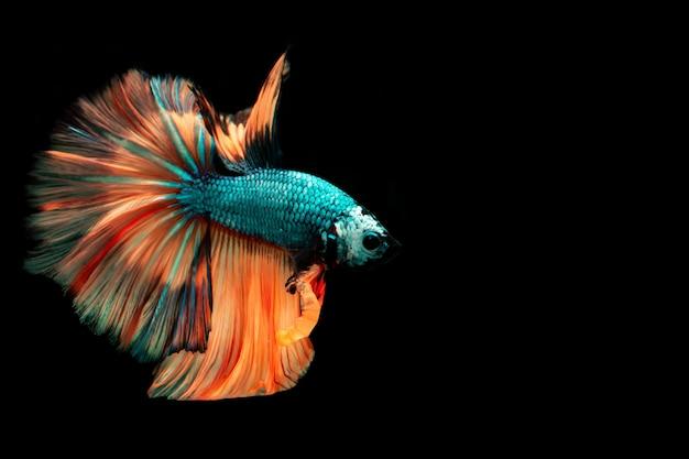 Многоцветная боевая рыба