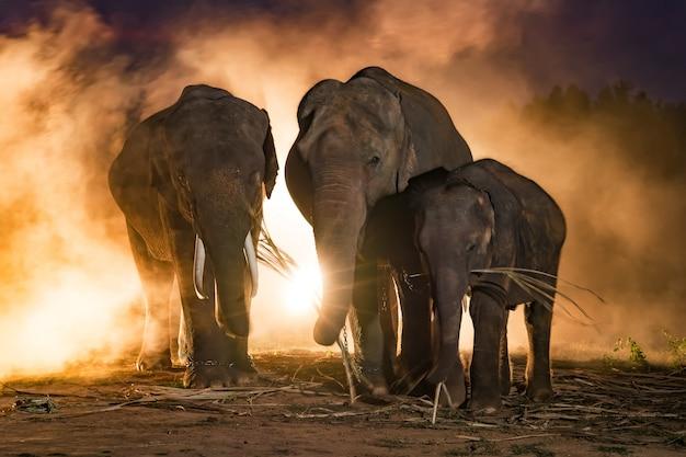 Слоны. семейство слонов, сурин таиланд.