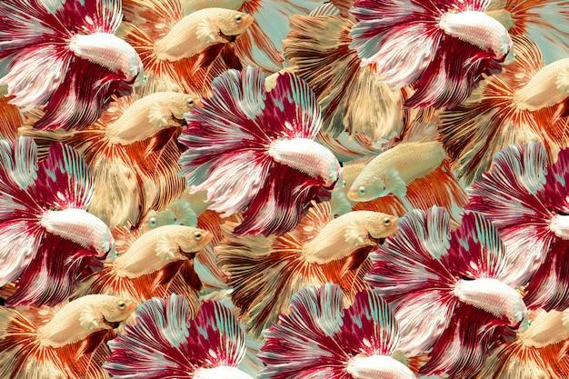 シャムの戦いの魚。マルチカラーの戦いの魚の背景。