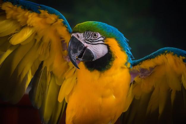 青と金のコンゴウインコの美しい羽。オウム。
