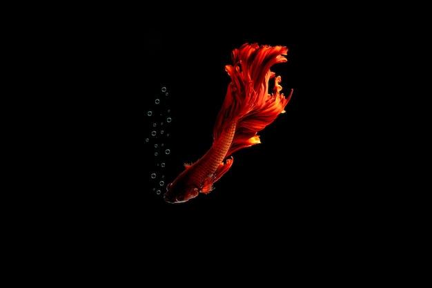 Красная многоцветная сиамская рыба борьбы.