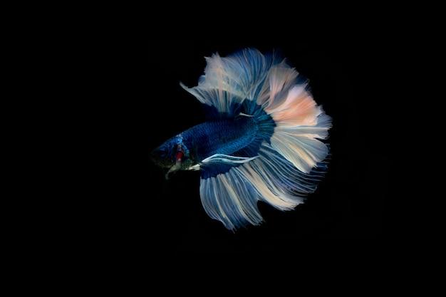 Сиамские боевые рыбы. многоцветные боевые рыбы, изолированные на черном фоне.