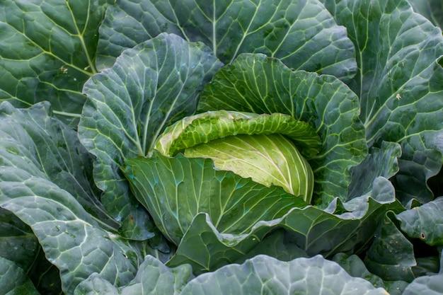 庭の青菜の鮮度。