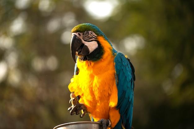 青と黄色のコンゴウインコ、動物園の青と金のコンゴウインコは、新熱帯区のオウムの大グループのメンバーです