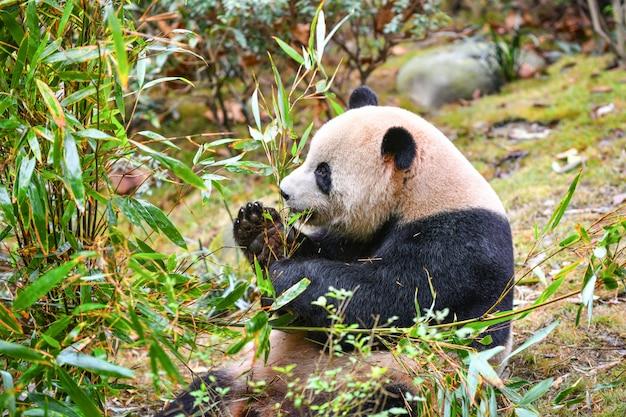 中国成都で竹を食べるジャイアントパンダ