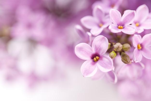 Весенние сиреневые цветы