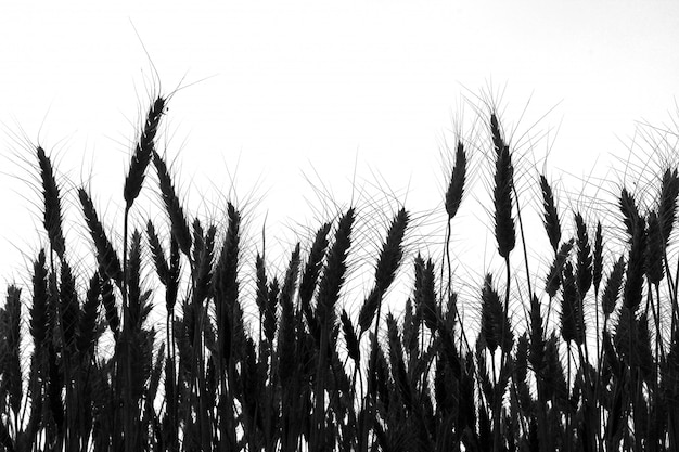 麦畑のシルエット