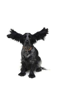 犬のコッカー