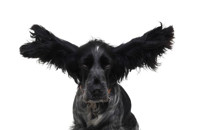 コッカー犬