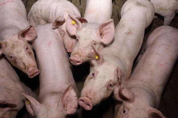 Внутри фермы свиней