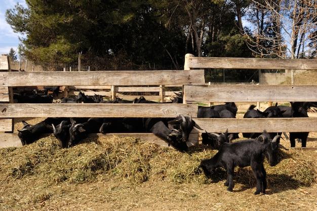 ヤギは農場で食べる、