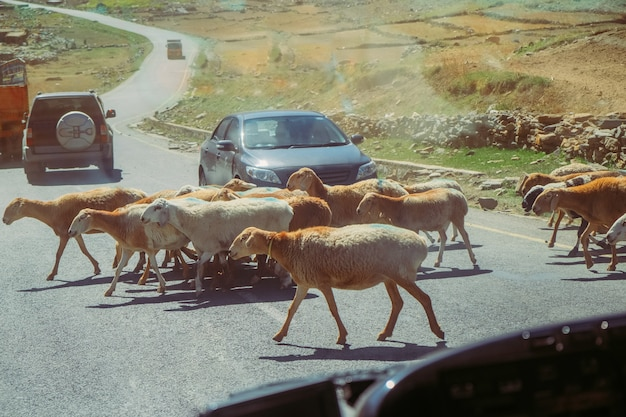 車が停止し、羊の横断道路の群れを待っています。パキスタン、ナランの交通