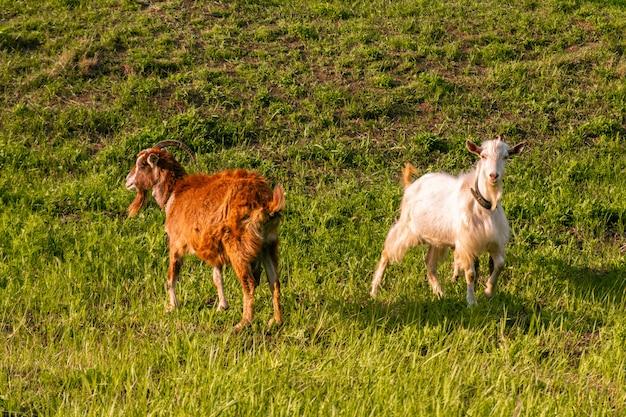ヤギは牧草地で放牧し、晴れた日に草を食べる
